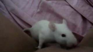 Rat licking a Kitty