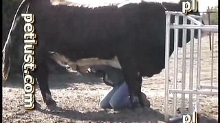 A cow sodomized by an unscrupulous cowboy