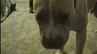 Chubby doxy bonks golden brown pit-bull on living room floor