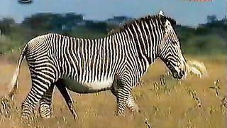 Wild animals have a fun fucking in the savanna