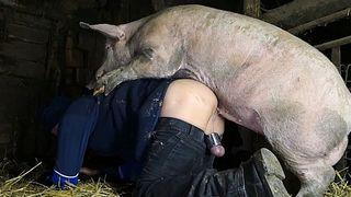 Boar fucking a dude in his ass in this beastiality barn scene! A Pig fucks a my crazy husband