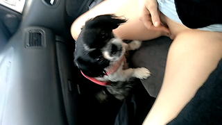Amateur girl getting her slit licked by her dog while driving her car